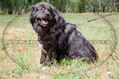 buy Caucasian Shepherd leather dog training harness online