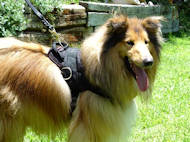 Nylon multi-purpose dog harness for Collie