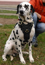 Exclusive Handcrafted Padded Leather Harness for Dalmatian