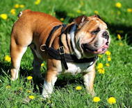 English Bulldog Tracking /Pulling/Walking Leather Dog Harness