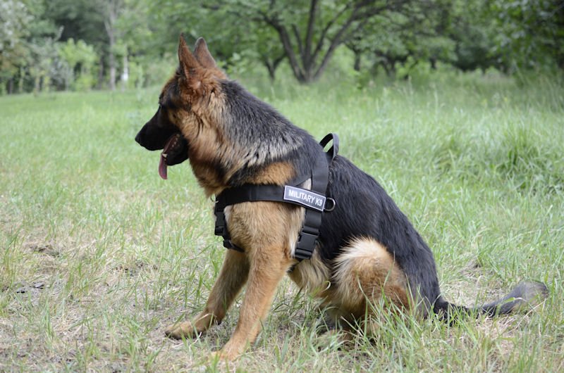 Pin biggest german shepherd on pinterest
