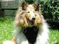 Protection/Attack Leather Dog Harness for Collie, UK