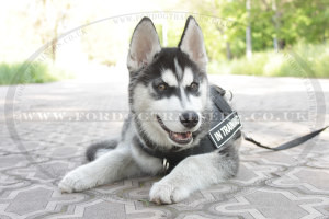 Husky Puppy Harness and Leash