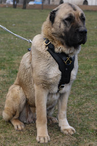 Caucasian Shepherd Harness | Padded Dog Harness UK