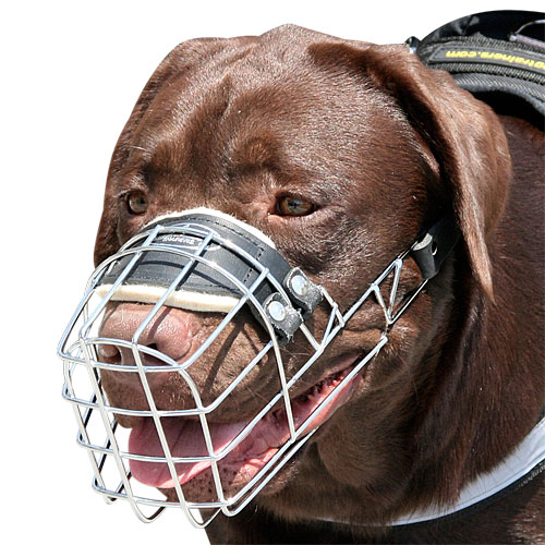 Labrador Retriever muzzle
