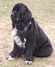 Newfoundland Luxury Padded Leather Harness UK