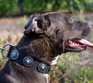 Pitbull Leather Dog Collar with Blue Stones
