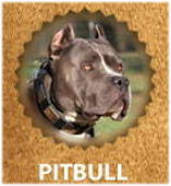 Pitbull breed