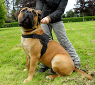 Nylon Dog Harness for Boerboel | Large Dog Harness for Mastiff