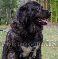 Training Large Leather Dog Harness for Caucasian Ovcharka
