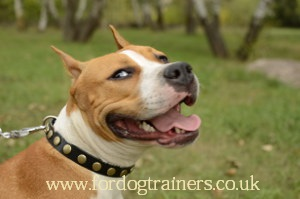 American Staffordshire Terrier Information