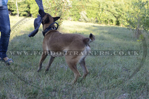 Belgian Malinois Training with Leather Dog Collar with Handle