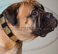 Bullmastiff Dog Collar with Brass Plates | Large Dog Collar