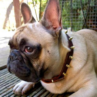 French Bulldog Walking Collar with Brass Spiked Design