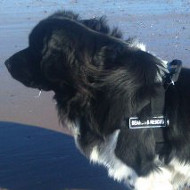The Best Newfoundland Harness for Stop Dog Pulling&Easy Walking