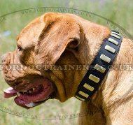 Dogue de Bordeaux Gorgeous Wide Collar With Brass Plates