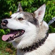 Designer Dog Collar for Husky | Spiked Dog Walking Collar