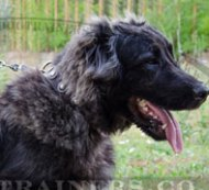 """Fashion Look"" Large Black Leather Dog Collar Caucasian Shepherd"