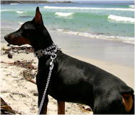 Metal dog lead with leather handle for Doberman