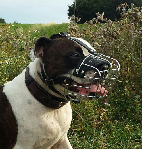 Buy American Staffordshire Terrier Muzzle for Sale UK