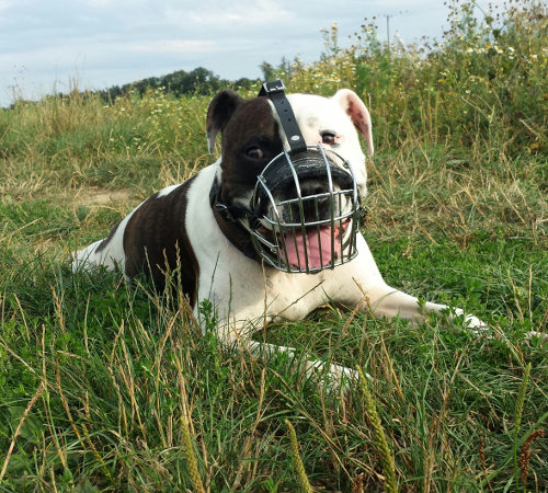 The Best Muzzle for Staffy UK