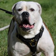 Dog Leather Harness for American Bulldog for Sale
