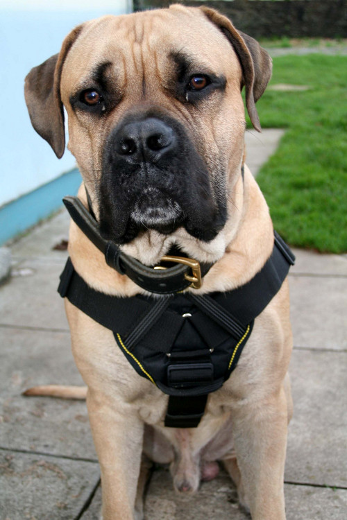 Mastiff harness