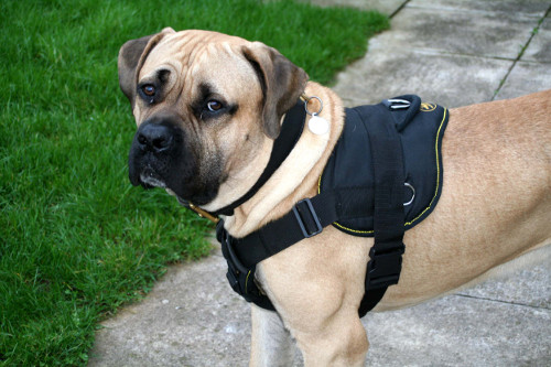 Harness for Mastiff