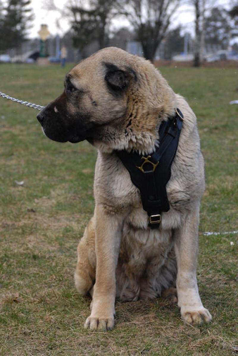 Padded Dog Harness. Caucasian Shepherd Padded Dog ...