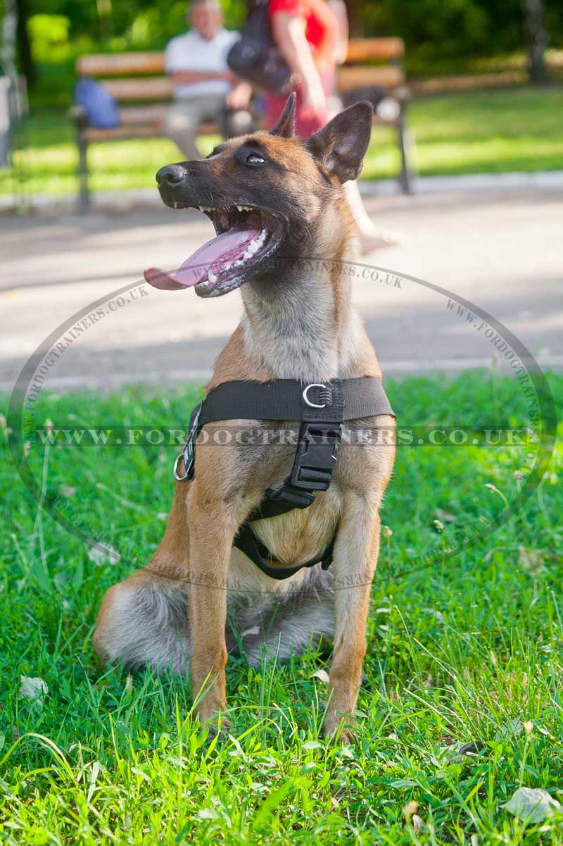 Belgium shepherd dog harness for training weight pulling h17 belgian shepherd dog harness nvjuhfo Gallery