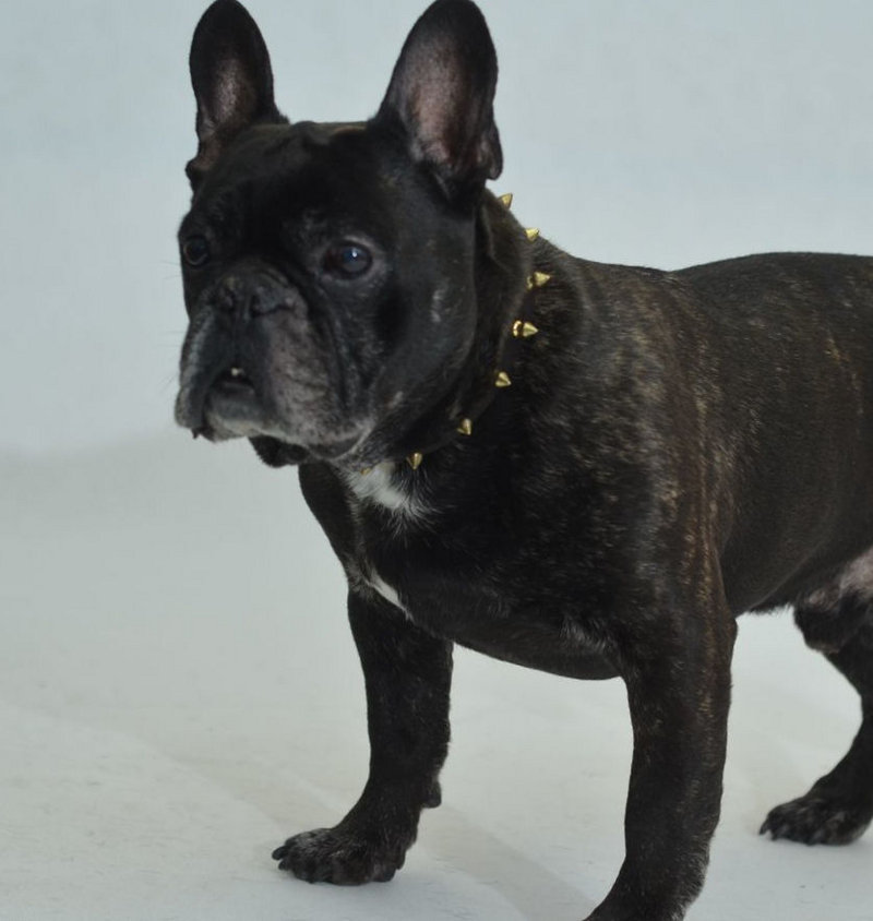Spiked Dog Collars For French Bulldogs
