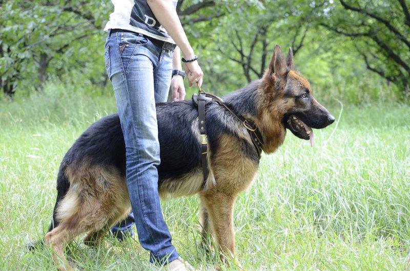 German Shepherd training equipment. Best Comfort with Padded Dog Harness  for German Shepherd Training with Brass Studs