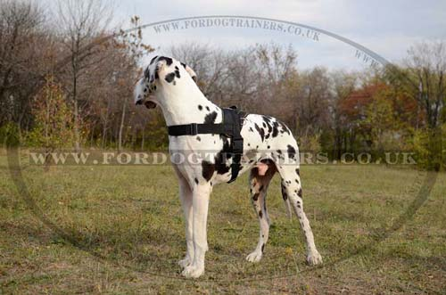 Best Dog Harness for Great Dane