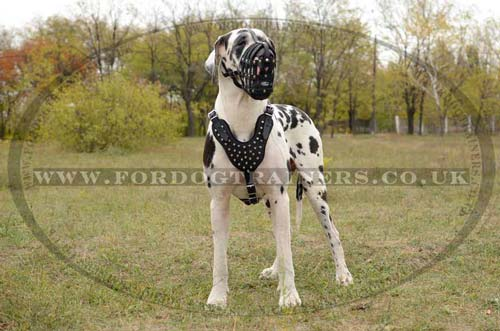 Leather Dog Muzzle on the Great Dane