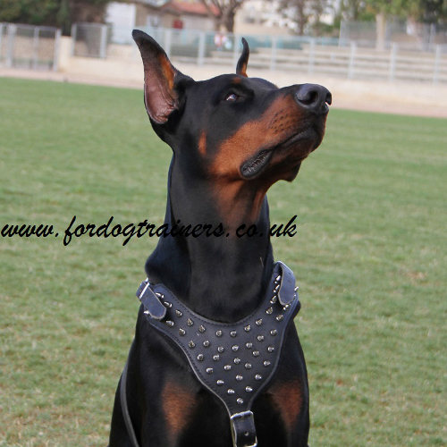 Doberman harness