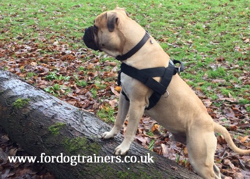 bullmastiff training harness