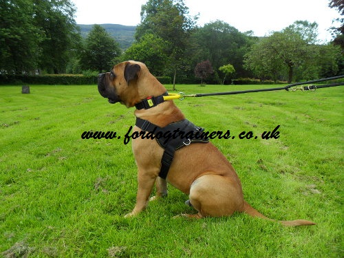 Boerboel harness UK