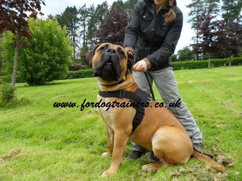 Best dog harness for Boerboel