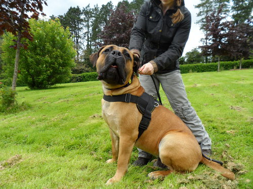 Best dog harness for Boerboel