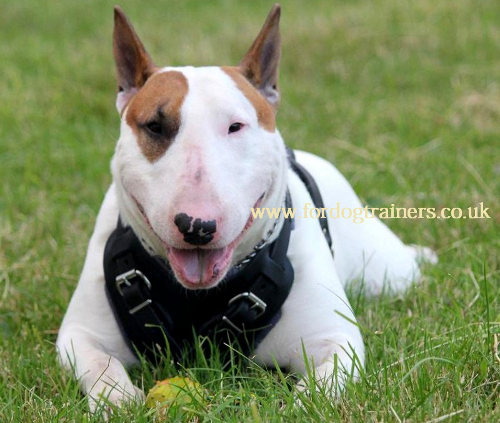Bullterrier harness