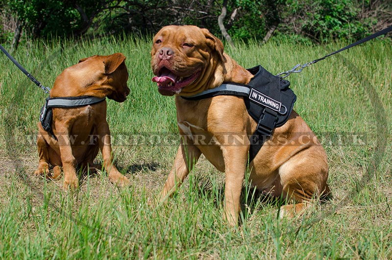 Reflexive dog harness for Dogue De Bordeaux puppies and big dogs