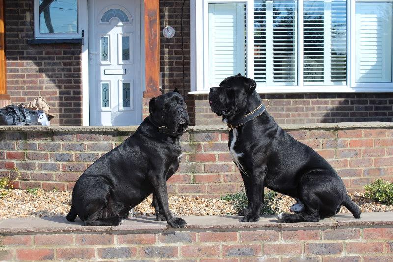 Large Dog Collar For Cane Corso Soft Padded Dog Collar