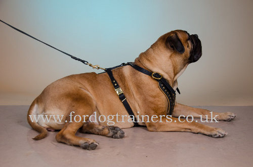 Leather padded dog harness for Bullmastiff