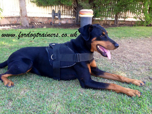 Doberman dog harness with handle