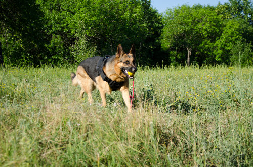 germanShepherd Dog breed