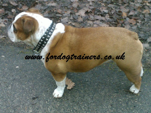 leather dog collar caterpillar on English Bulldog
