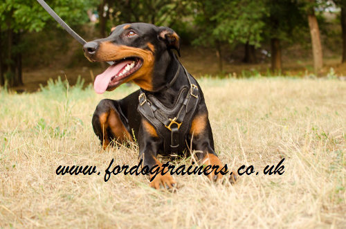 Doberman Padded Dog Harness