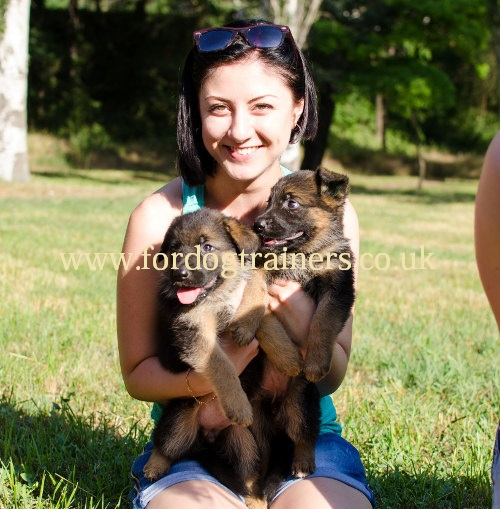 German Shepherd Puppies UK