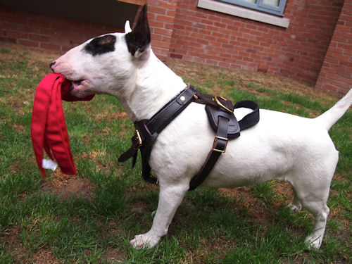 Bullterrier Harness UK