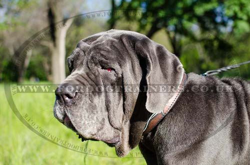 neapolitan mastiff dog